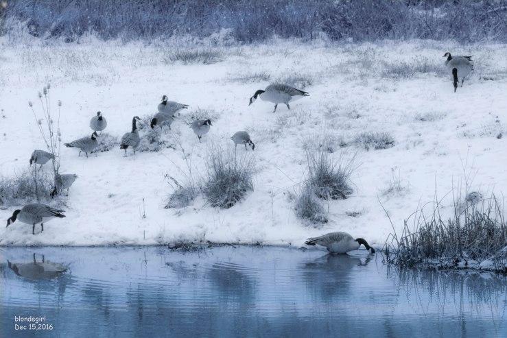 geese_snow